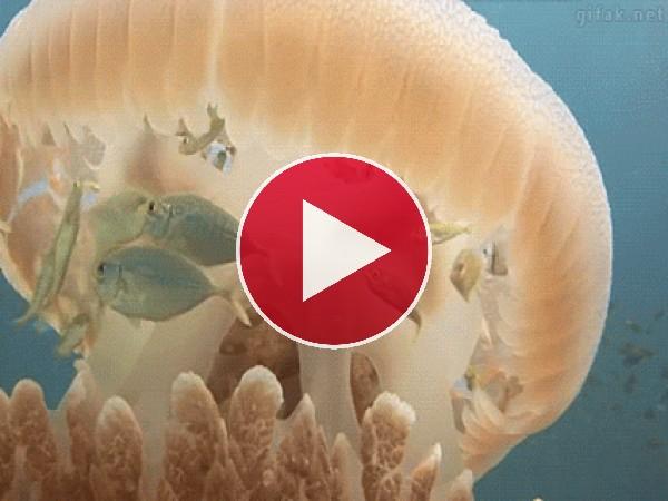 GIF: Peces conviviendo con la medusa