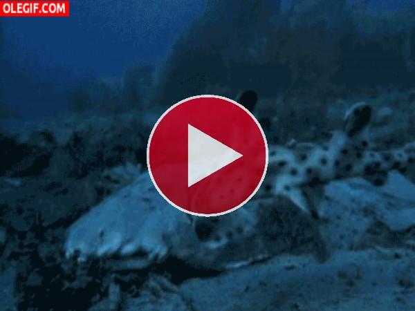 GIF: El pez grande se come al pequeño