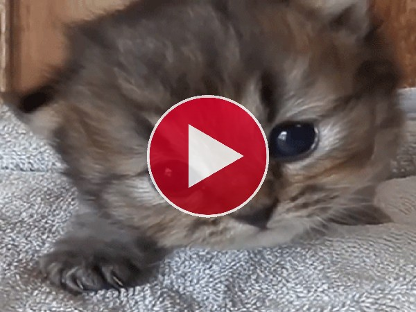 GIF: Un pequeño gato maullando