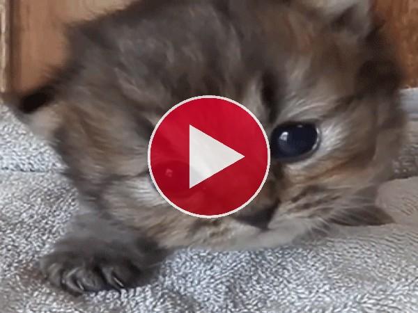Un pequeño gato maullando