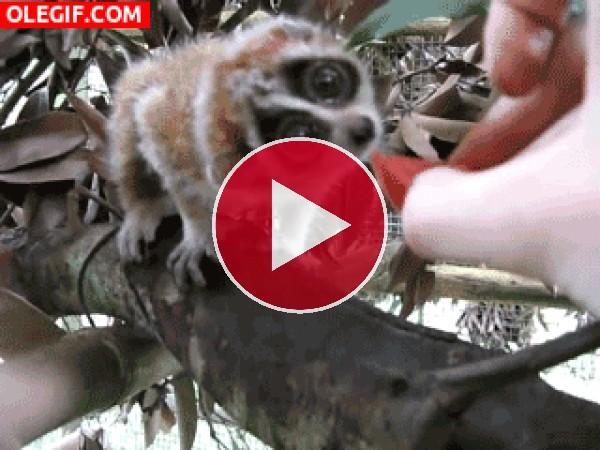 Dando de comer al lori