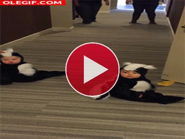 GIF: Dos mofetas en el pasillo