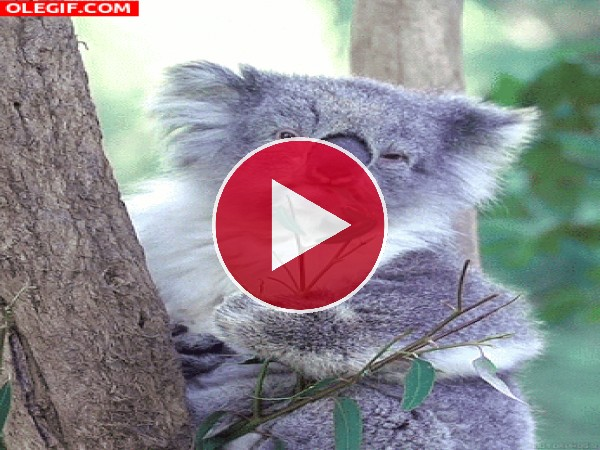 Koala comiendo con mucha calma