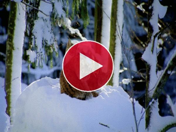 GIF: Un grupo de linces en la nieve