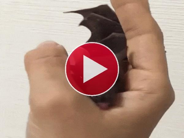 GIF: A este murciélago le gusta chupar
