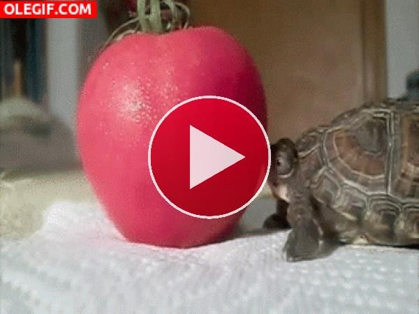 Esta tortuga quiere morder el tomate