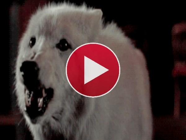 GIF: Este lobo está muy cabreado