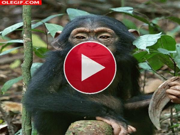 Mira cómo mastica el chimpancé