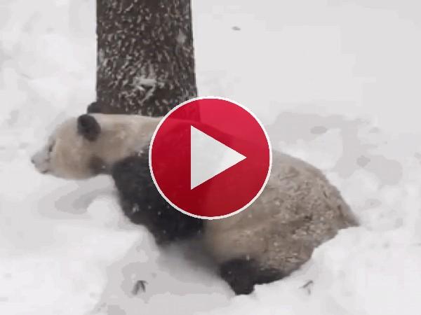 A este panda le encanta la nieve