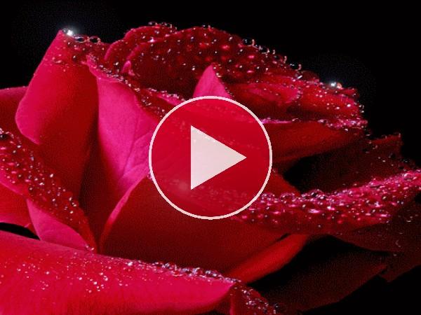 Destellos en los pétalos de la rosa