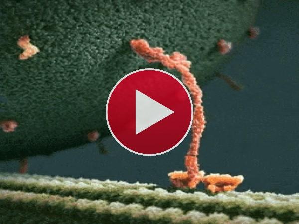 GIF: Una molécula de miosina lleva endorfina sobre un filamento neuronal