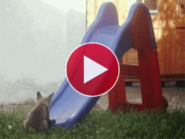 GIF: Estos zorros se divierten en el tobogán