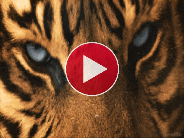 GIF: Los hermosos ojos del tigre