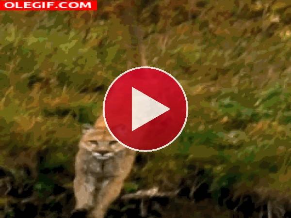 GIF: Puma corriendo