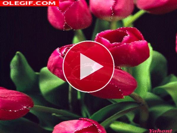 GIF: Hermosos tulipanes