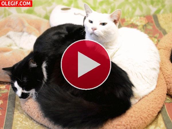 GIF: Gato blanco y gato negro