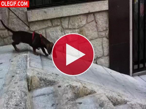 GIF: A este perro no le gusta andar