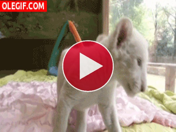 GIF: Mira a estos cachorros de león albinos