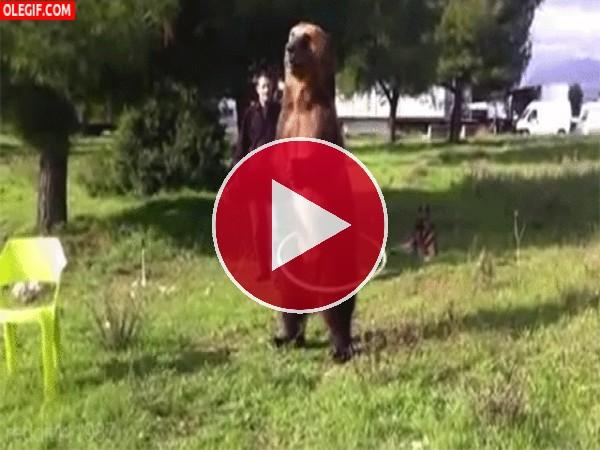 Mira a este oso bailando el hula-hoop