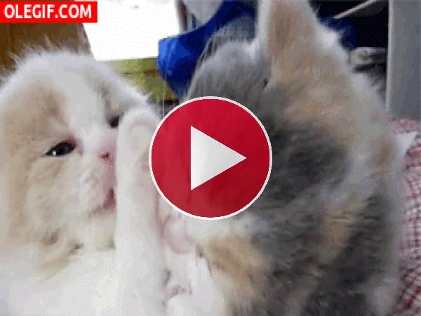 GIF: Gatos amorosos
