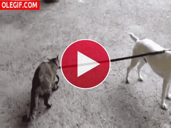 A este gato le gusta pasear al perro