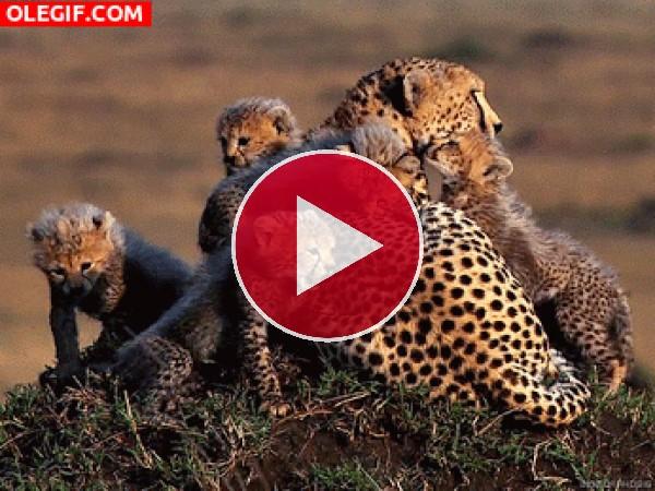 Cachorros de guepardo junto a su mamá