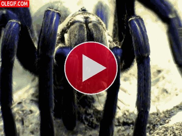 GIF: Tarántula moviendo las patas
