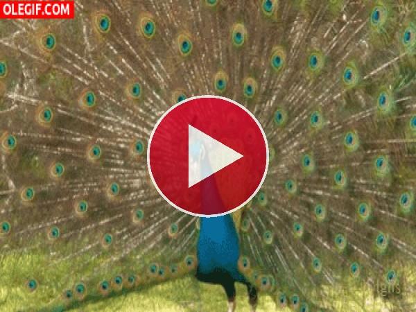 Pavo real mostrando el plumaje