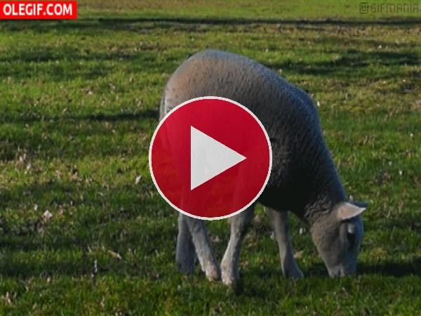 GIF: A esta oveja le gusta la hierba