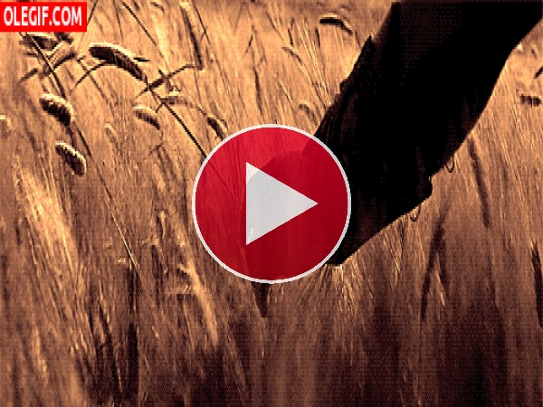 GIF: Tocando el trigo