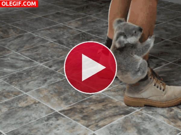 Este pequeño koala está bien agarrado