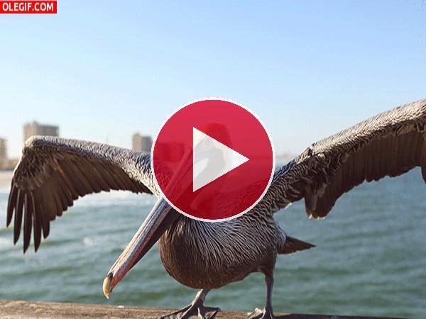 GIF: El vuelo de un pelícano