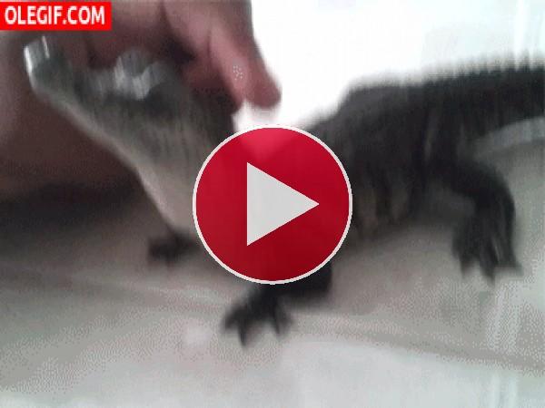 GIF: Este pequeño cocodrilo se deja acariciar