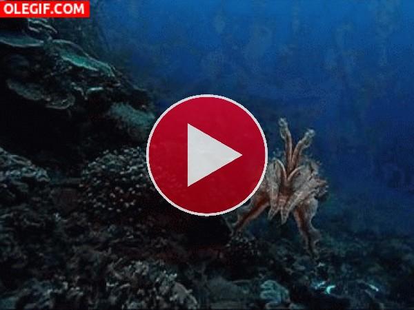 Sepia nadando en el fondo marino