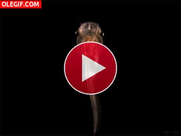 GIF: Metamorfosis de un renacuajo a rana