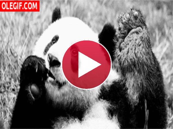 A este panda le gusta comer tumbado