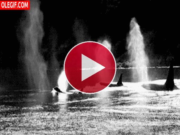 GIF: Orcas nadando en la superficie