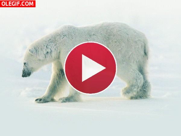 GIF: Oso polar herido