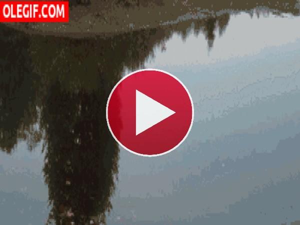 Libélula tocando el agua