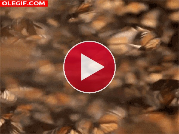 GIF: Mariposas monarca revoloteando