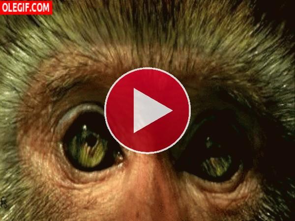 GIF: Los ojos de un mono