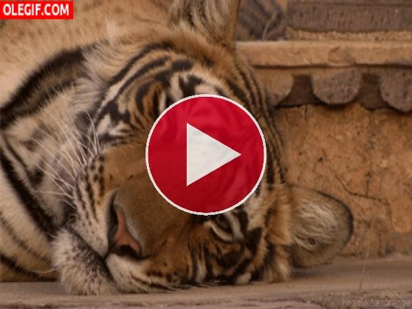 GIF: Tigre dormitando