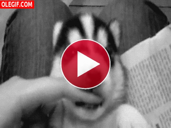 GIF: Un lindo cachorro de husky