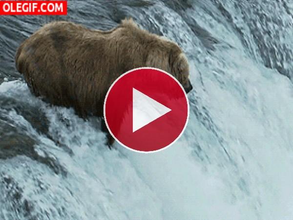 Mira a este oso pescando