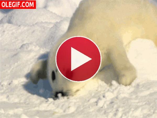 Pequeña foca reptando por la nieve