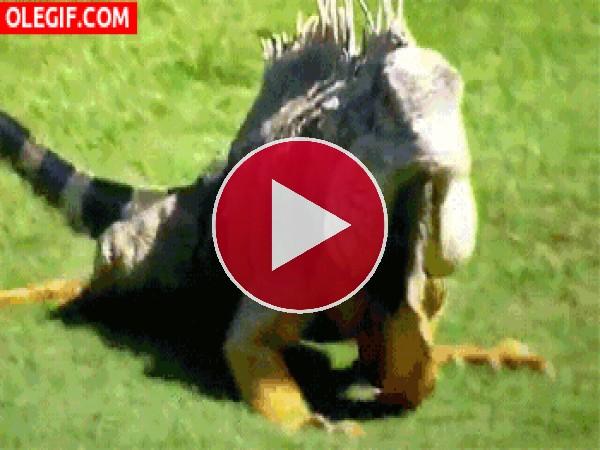 GIF: Una iguana caminando