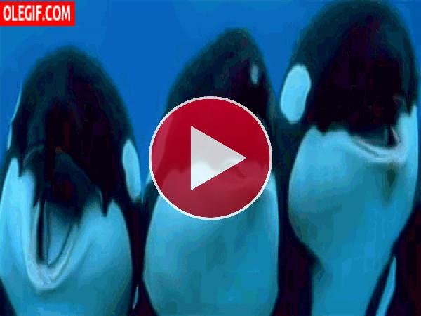 Unas simpáticas orcas