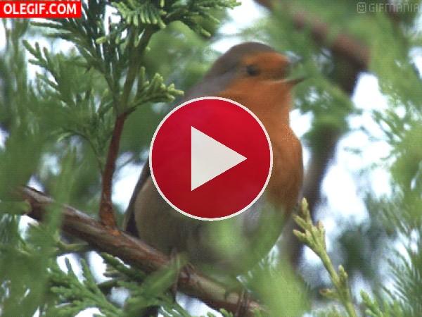 GIF: Petirrojo Europeo cantando