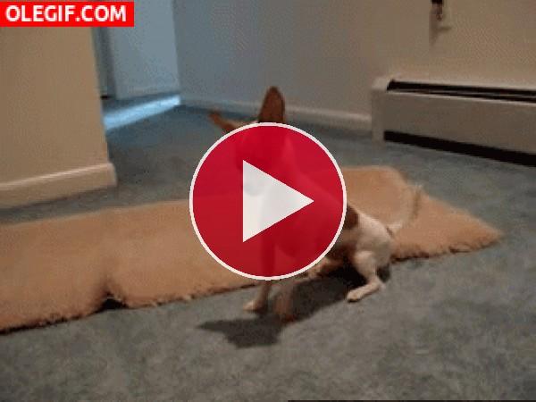 GIF: Este chihuahua esta hemocionado