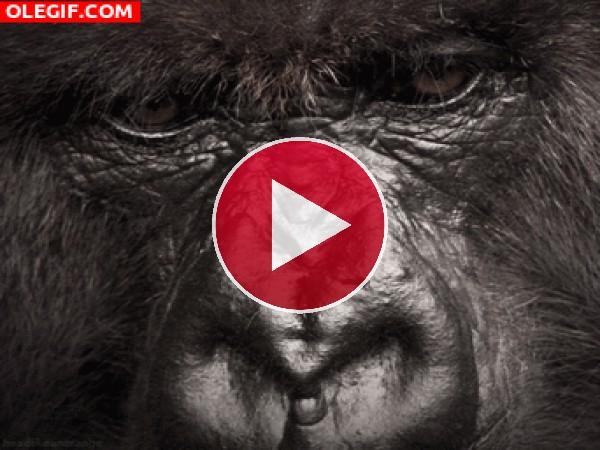 Gorila cerrando los ojos
